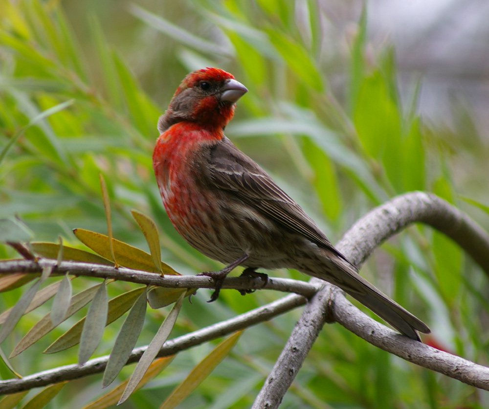 A Beautiful Picture Of A Male House Finch Taken By Sean Hoppes In May 2005.