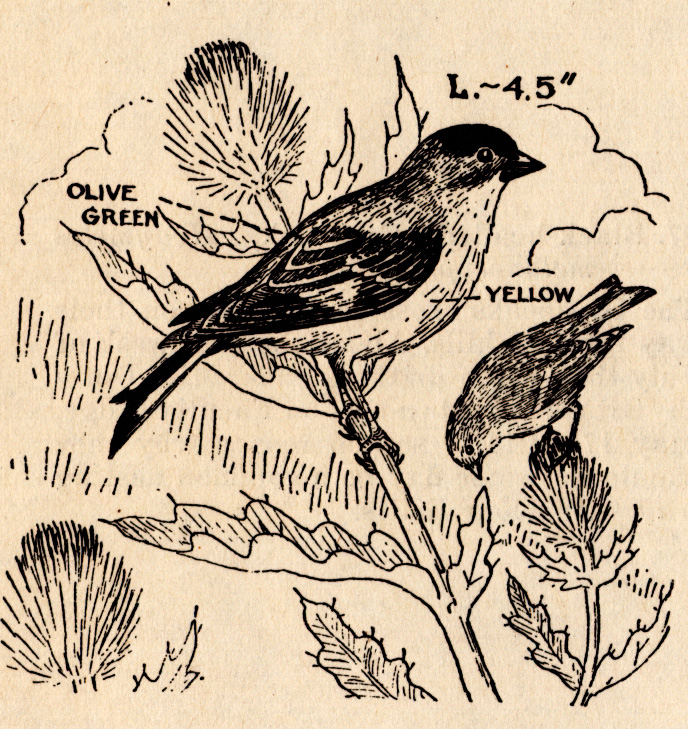 Free coloring pages of willow goldfinch
